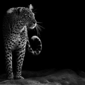 Leopard 24 - Tapet Foto Alb-Negru