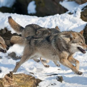 Fototapet Lupi Alergand Natura, Animale, Iarna