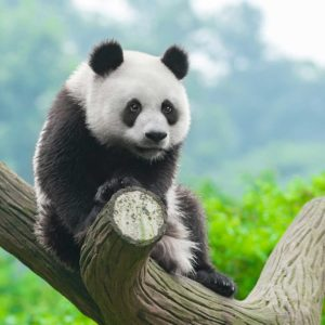 Tapet Foto 3D Panda 01 - Animale, Natura