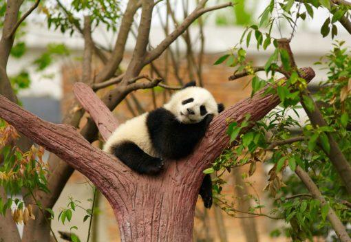 Fototapet Animale Panda 04