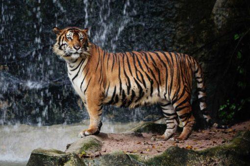 Tapet 3D Tigru-04
