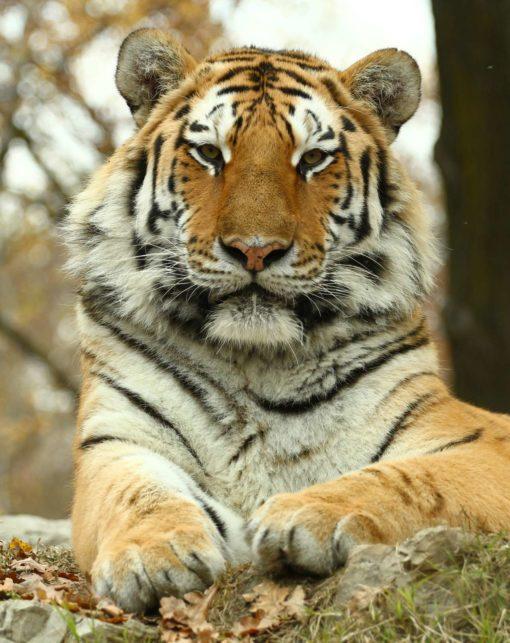 Fototapet 3D Tigru 05