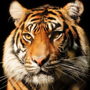 Fototapet Tigru-09 Fundal Negru