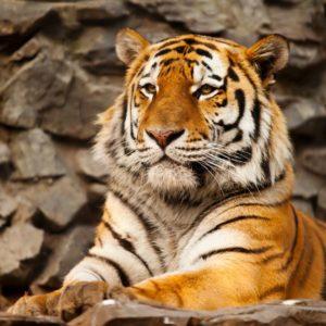 Fototapet 3D Tigru 10