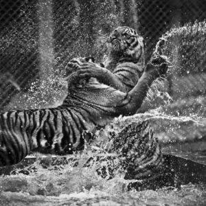 Fototapet Alb-Negru Tigri 11
