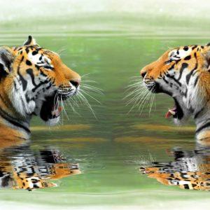 Fototapet Tigri 12