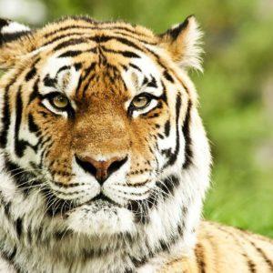 Tapet Foto Tigru 13