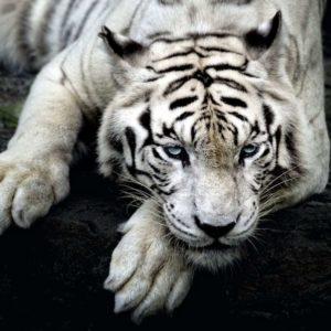 Fototapet Alb-Negru Tigru 14