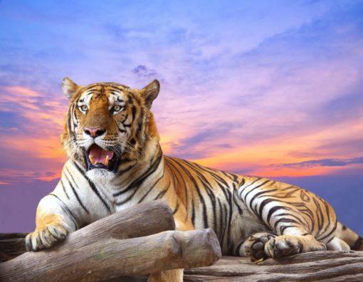 Fototapet Tigru 16