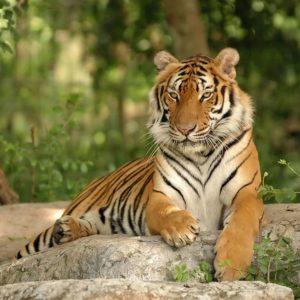 Fototapet Tigru 17