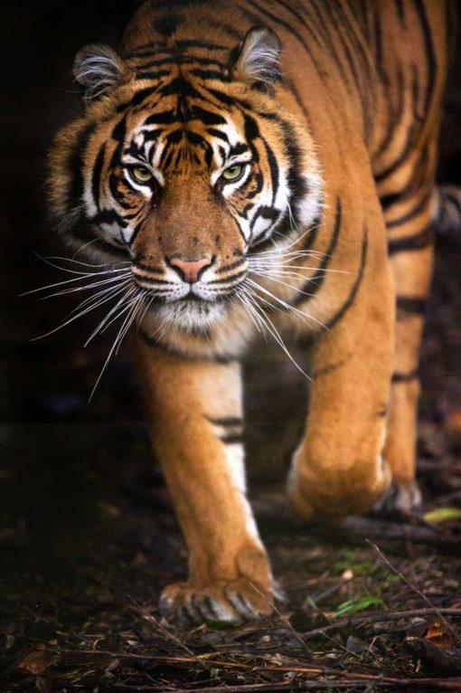 Tapet 3D Tigru 19