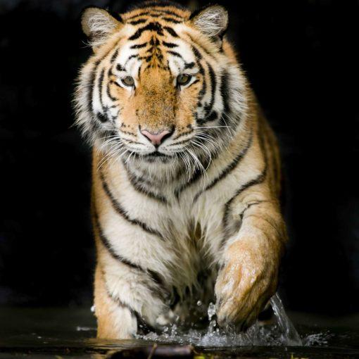 Fototapet Tigru 20