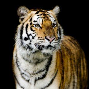 Tapet Foto Tigru 21