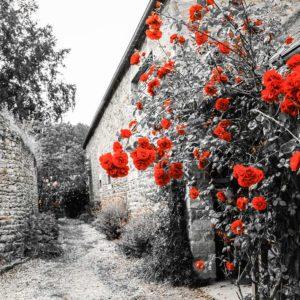 Flori 08 - Fototapet Flori Rosii Fundal Alb-Negru Cetate