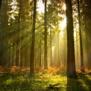 Fototapet Fox-01-0255 - Padure Copaci Raze Soare Ceata