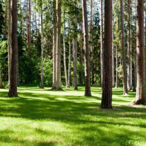 Tapet Foto Fox 01 0257 - Padure Copaci