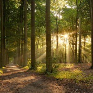 Fototapet Fox-01-0259 - Padure Copaci Raze Soare Ceata