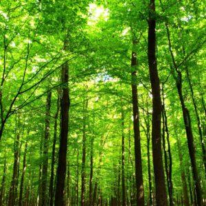 Tapet Foto Fox-01-0260 - Padure Copaci Cer