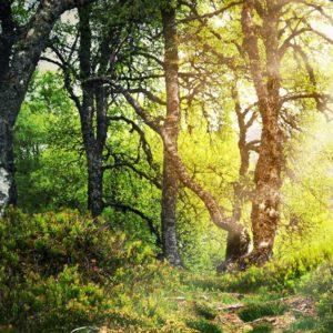 Tapet 3D Fox-01-0275 - Padure Copaci Raze Soare Ceata
