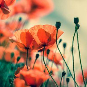 Fototapet Maci 03 Gradina Flori Plante