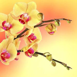 Orhidee 06 - Fototapet Flori Galbene Roz Detaliu Macro