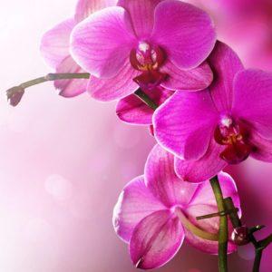 Fototapet Orhidee 15 Detaliu Macro