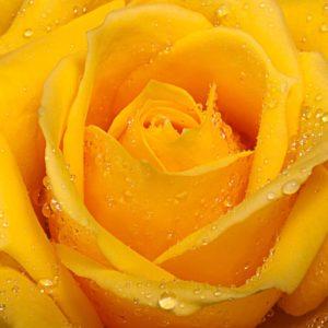 Fototapet Trandafir 01 Galben Detaliu Macro