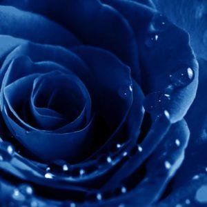 Fototapet Trandafir 03 Albastru Detaliu