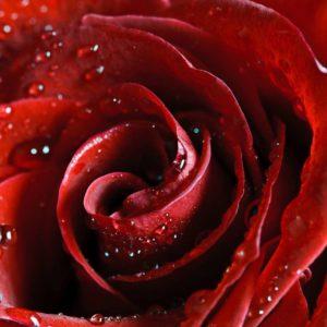 Fototapet Trandafir 06 - Floare Rosie Detaliu Macro