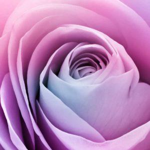 Trandafir 09 - Fototapet Floare Roz Mov Detaliu Macro