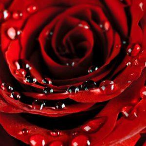 Fototapet Trandafir 10 - Floare Rosie, Detaliu Macro, Roua
