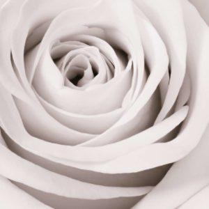 Trandafir 11 - Fototapet Vertical Floare Alba Detaliu Macro
