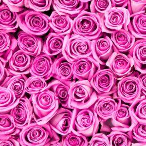 Trandafir 14 - Fototapet Trandafiri Roz Mov