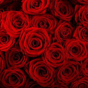 Trandafir 15 - Fototapet Flori Rosii
