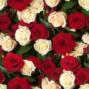 Trandafir 16 - Fototapet Flori Rosii Albe