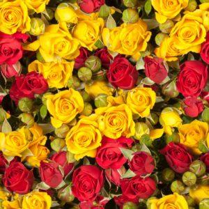 Trandafir 17 - Fototapet Flori Rosii Galbene