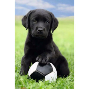 Maxi Poster Câine - labrador fotbal